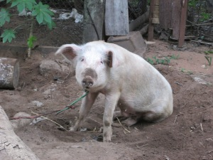 One of my pig neighbors.
