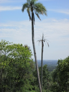 Palms and Paraguay