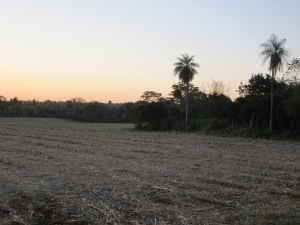 Sunset over a sugarcane field